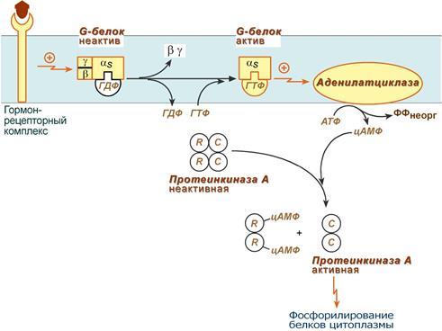 Гормоны гипоталамуса и их роль в регуляции эндокринной системы