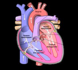 Гипертрофия левого желудочка сердца — что это такое? экг, признаки и лечение