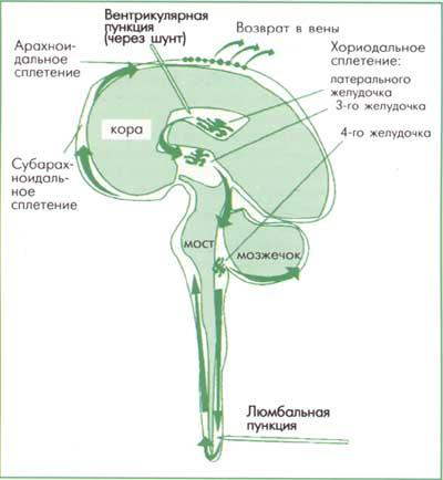 Посттравматическая базальная ликворея. образование ликвора. патогенез