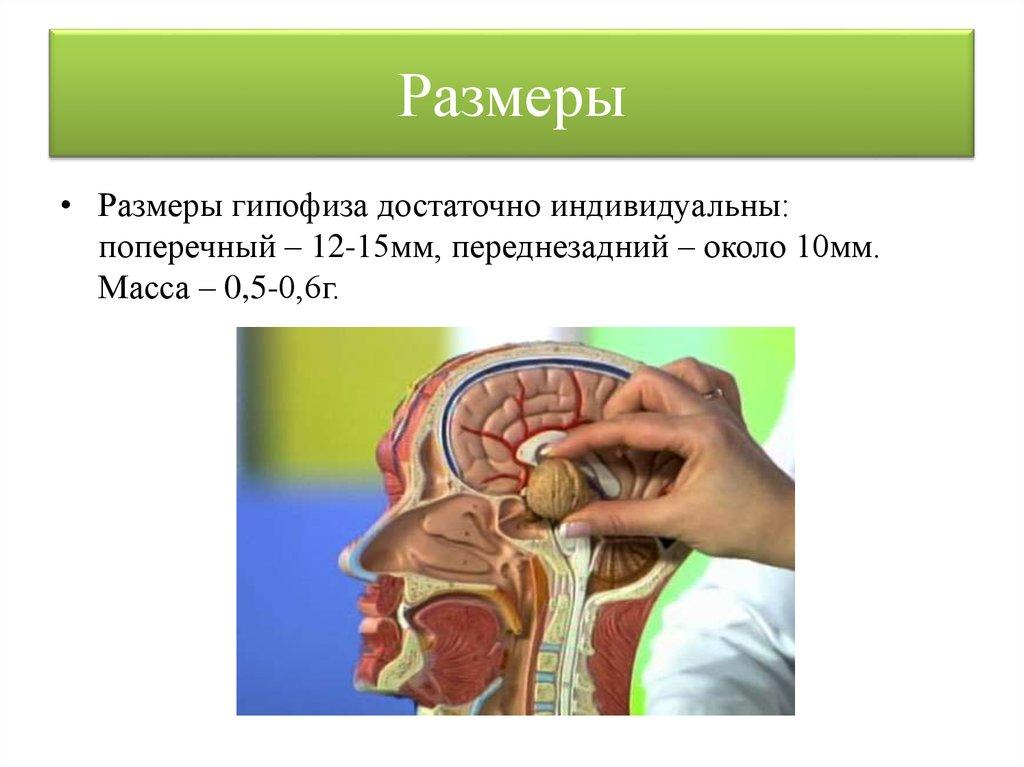 Анатомия: гипоталамус, hypothalamus. серый бугор, tuber cinereum. сосцевидные тела, corpora mamillaria. задняя гипоталамическая область.