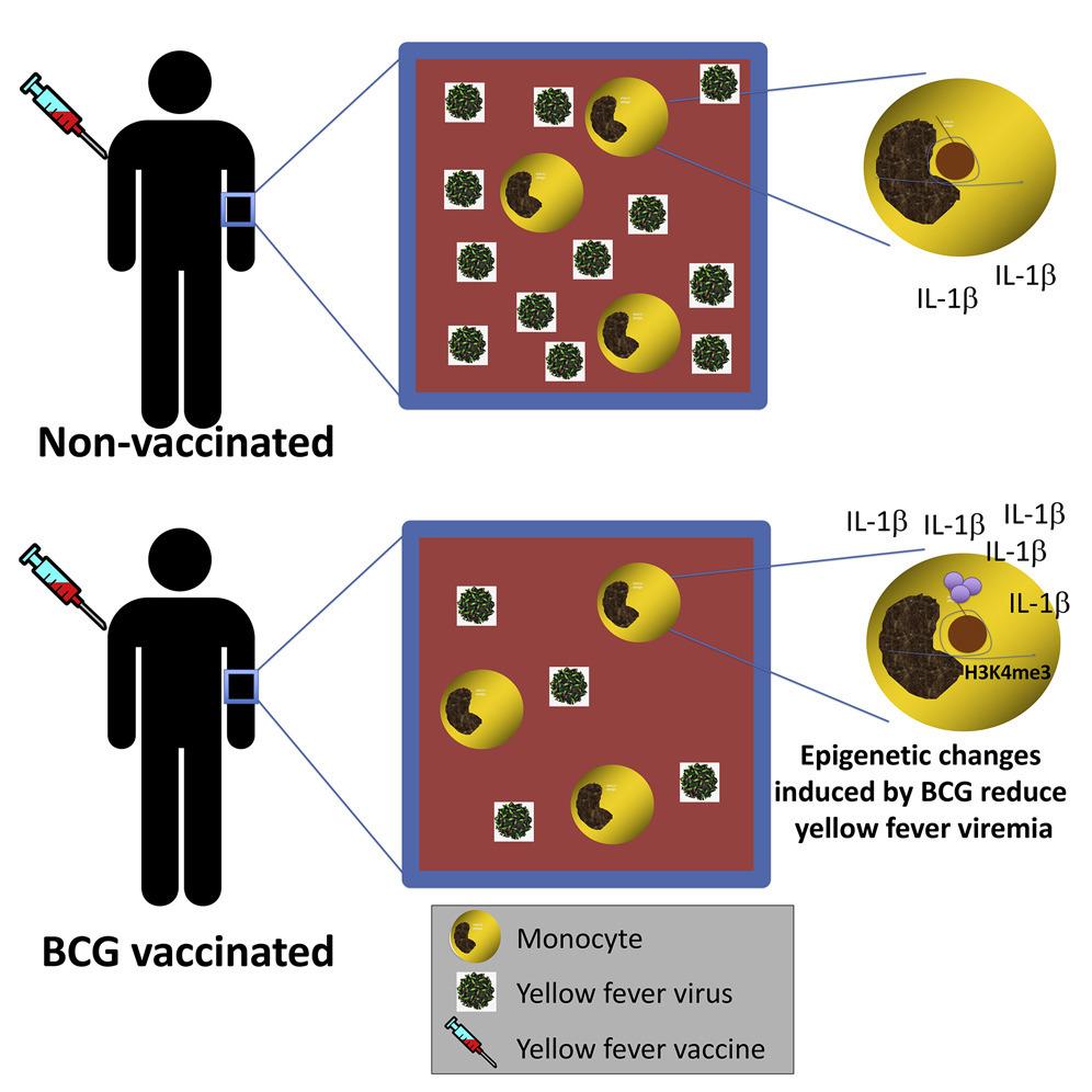 Состав вакцины бцж и осложнения