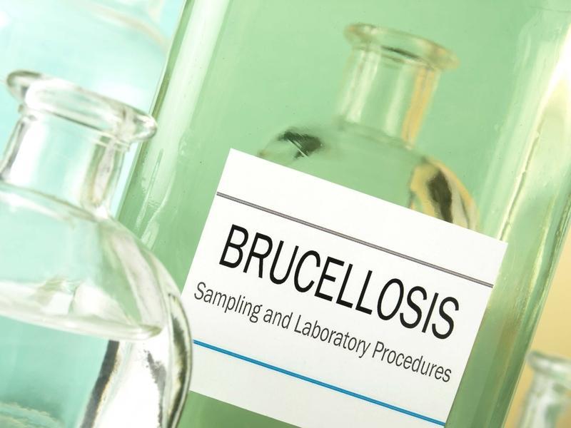 Бруцеллез у человека — симптомы, профилактика и лечение