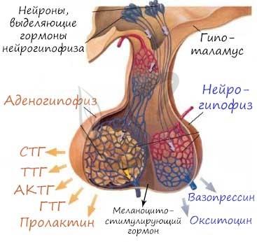 Гипофиз википедия