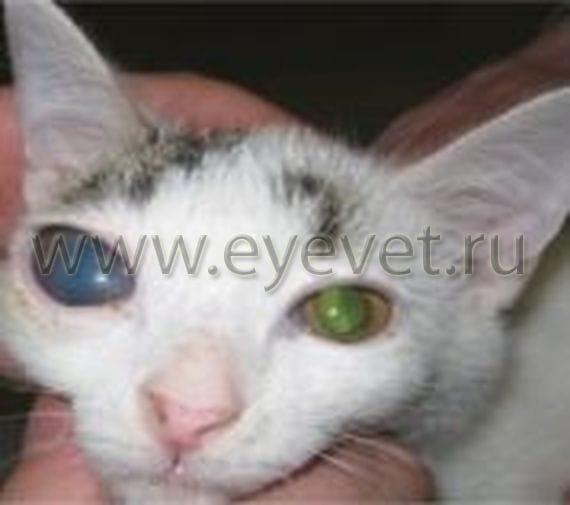 Глаукома  повышенное внутриглазное давление у кошек
