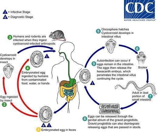 Гименолепидоз: что это, симптомы, анализ и лечение | все о паразитах