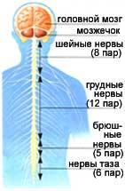 Нервная система | энциклопедия кругосвет