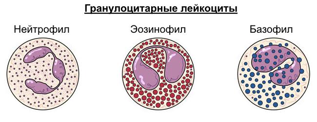 Причины повышенного уровня базофилов в крови - норма для ребенка, мужчин и женщин, как понизить