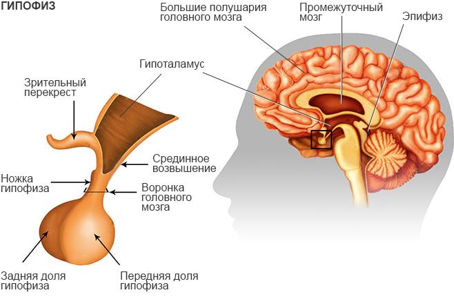 Анатомия: функция гипофиза. сосуды (кровоснабжение) гипофиза. нервы (иннервация) гипофиза
