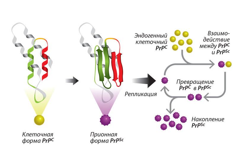 Прионы и амилоиды: ключевые свойства и роль в природе