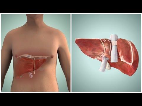 Желчь вырабатывается а поджелудочной железой б печенью в тонким кишечником