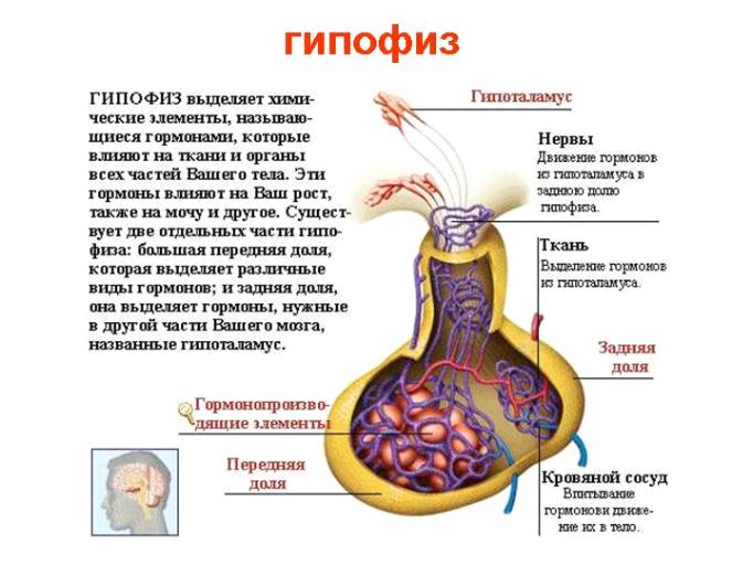 Гипофиз что это такое и за что он отвечает, функции, болезни
