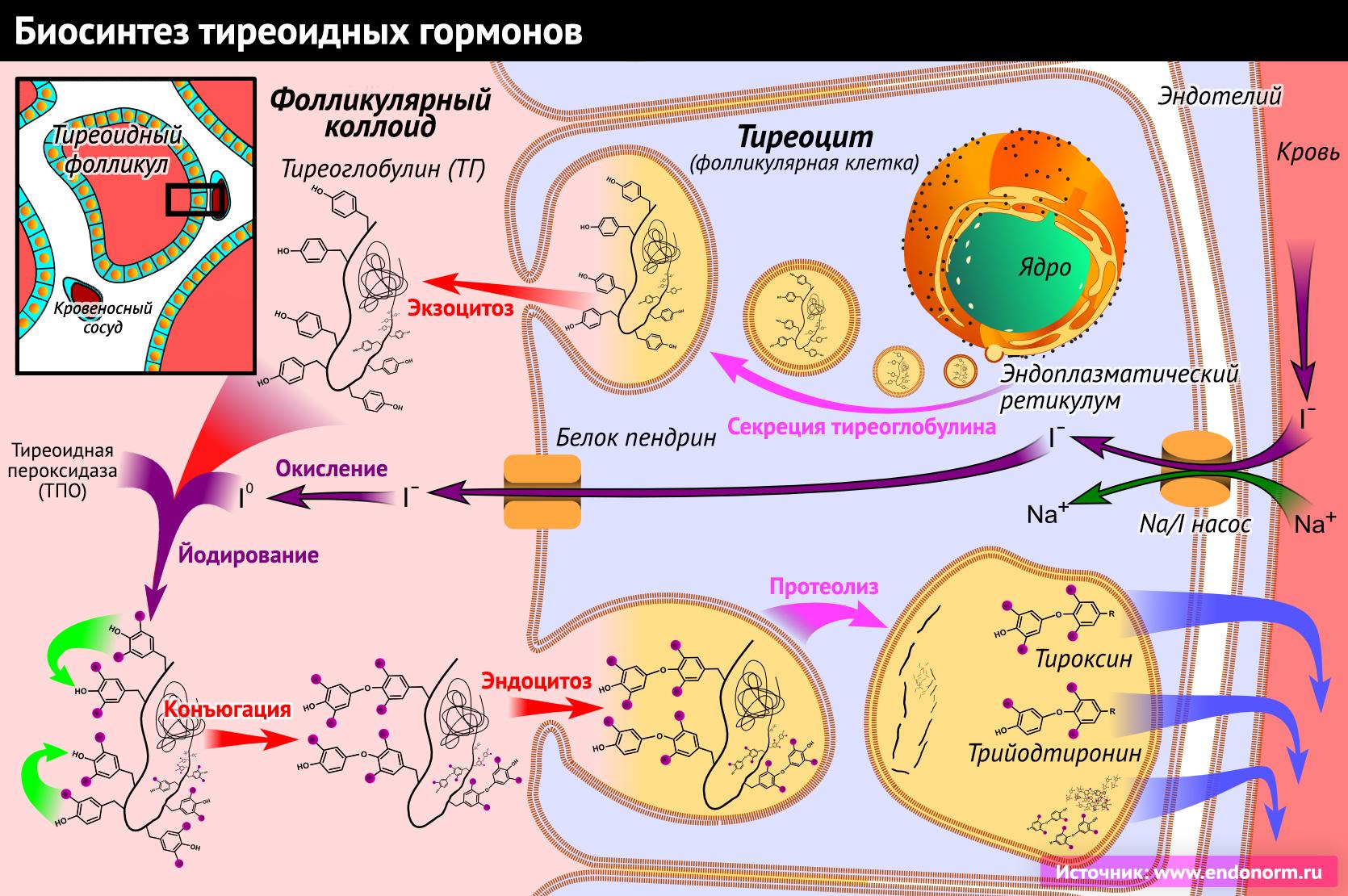 Для чего нужен гормон лептин