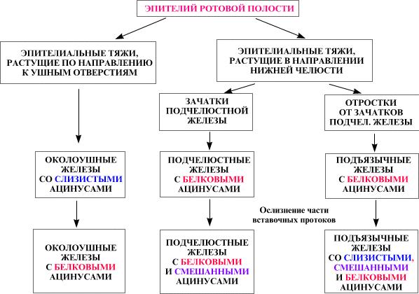 Процесс выделения слюны