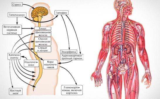 Гормон стресса кортизол: хотел как лучше, а получилось как всегда