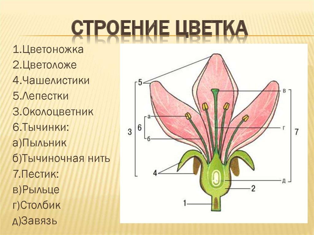 § 23. образование половых клеток и оплодотворение