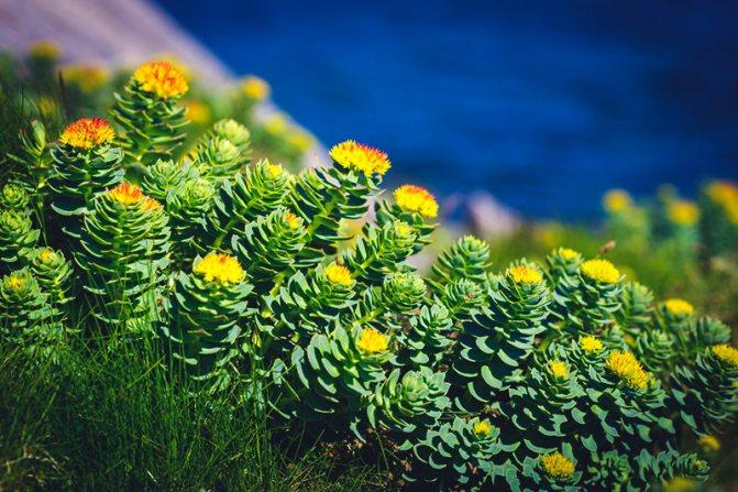 Золотой корень или родиола розовая, лечебные свойства и противопоказания
