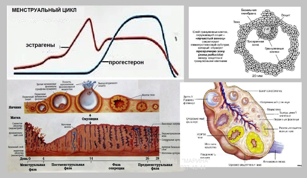 - репродуктивной системы - биохимия