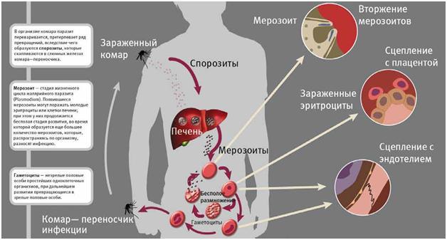 Малярия — циклопедия