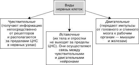 Периферическая нервная система — википедия. что такое периферическая нервная система