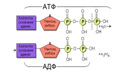 Аденозинтрифосфат