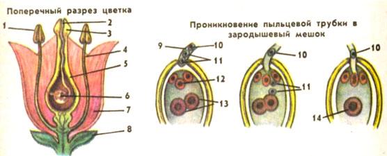 Как происходит процесс оплодотворения у человека