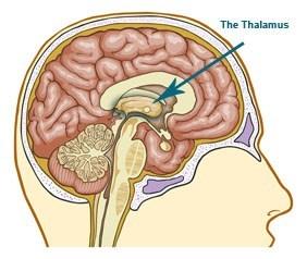 Промежуточный мозг – расположение, функции. за что отвечает гипоталамус, таламус, метаталамус, субталамус?