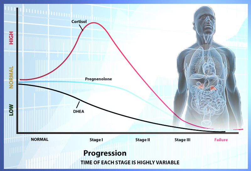 Надпочечники, корковое вещество. гормоны корковой зоны надпочечников - физиология с основами анатомии