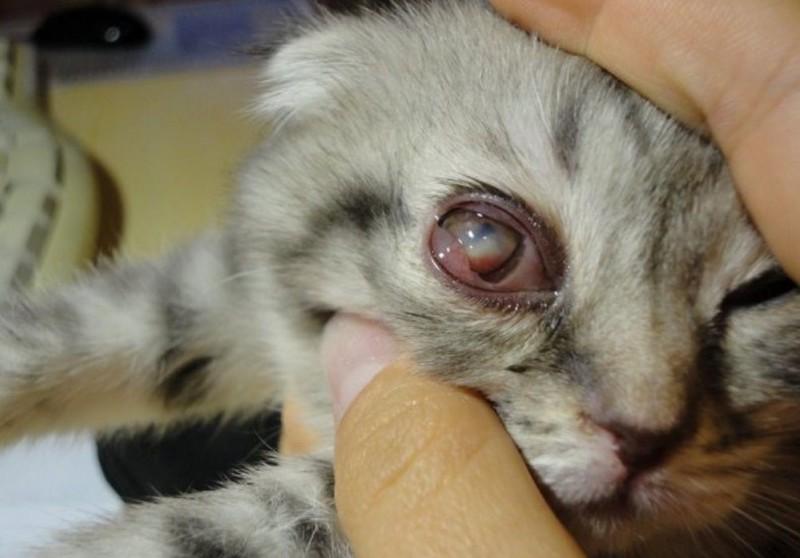 Глаукома – повышенное внутриглазное давление у кошек