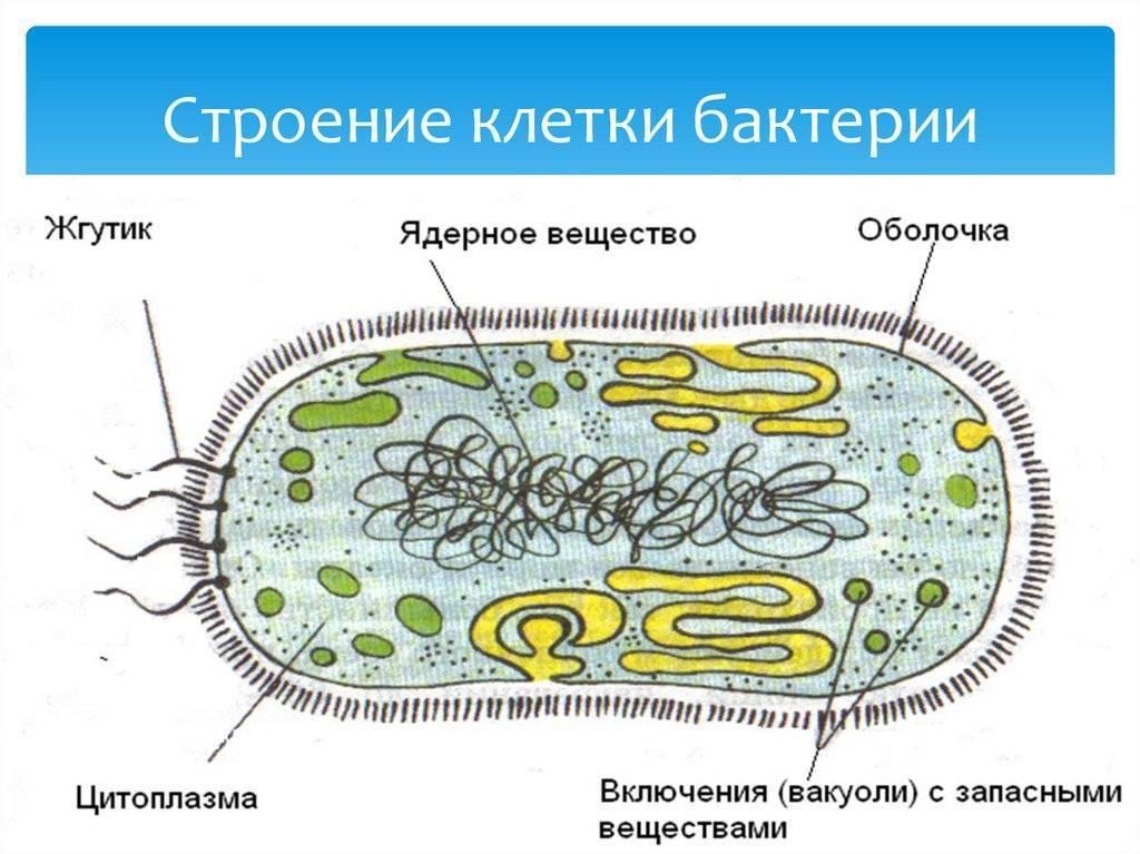 строение бактерии анимация всю