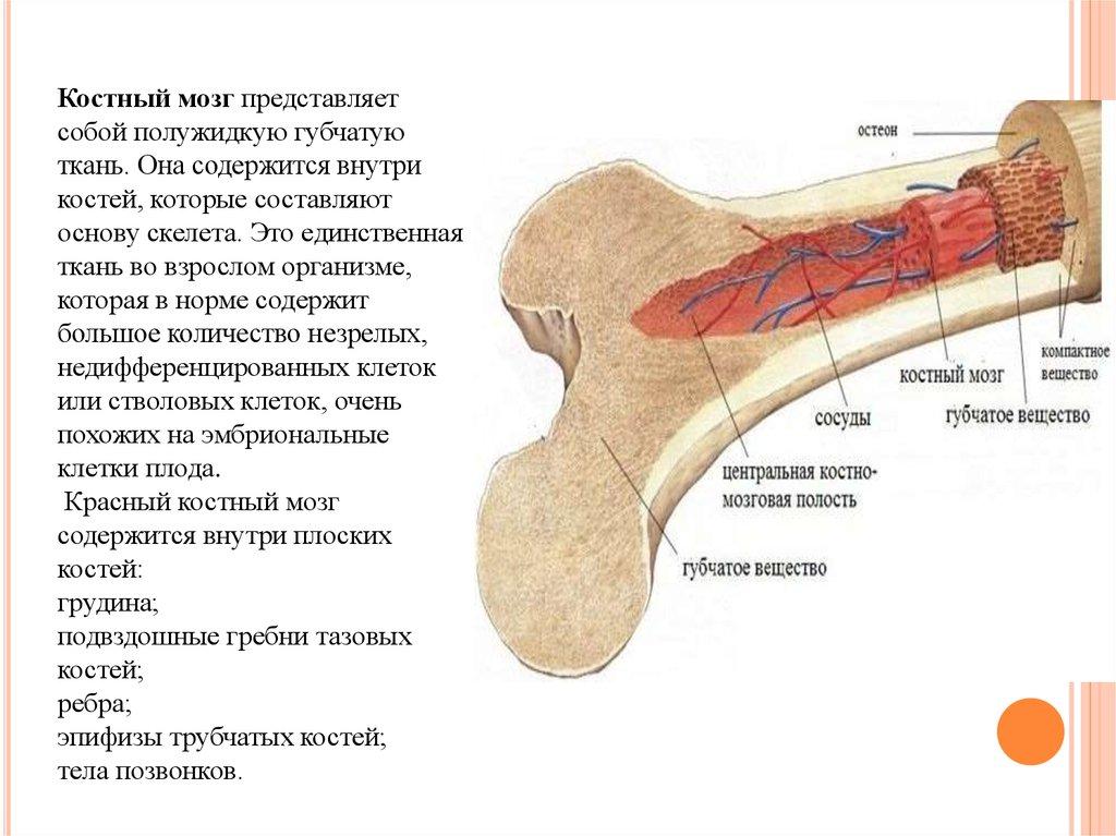 Анатомия красного костного мозга человека - информация: