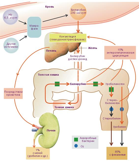 Продукты и диета при повышенном билирубине в крови