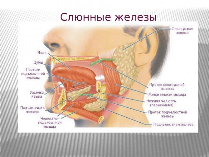 Какой орган вырабатывает слюну. откуда берется слюна