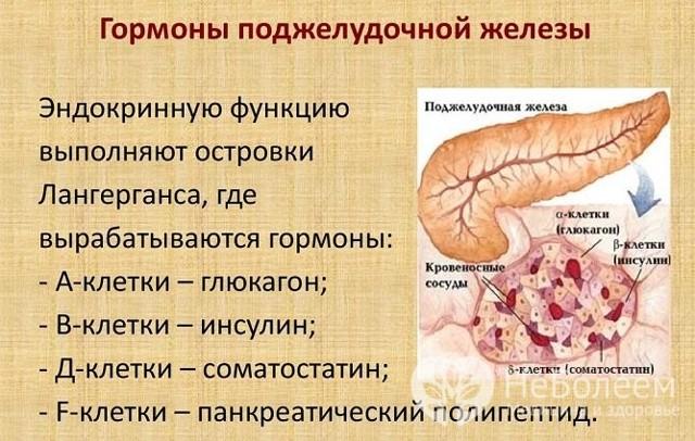 Какие два гормона вырабатываются в поджелудочной железе