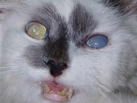 Глаукома у кошек: причины, симптомы, лечение