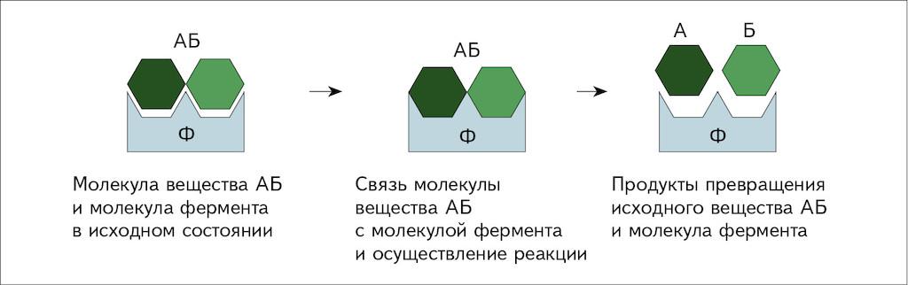 Ферменты что это? ферменты, или энзимы- это органические катализаторы белковой природы, которые ускоряют реакции, необходимые для функционирования живых. - презентация