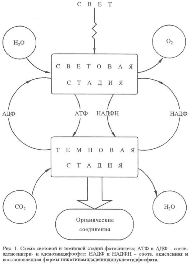 Аденозинтрифосфат википедия