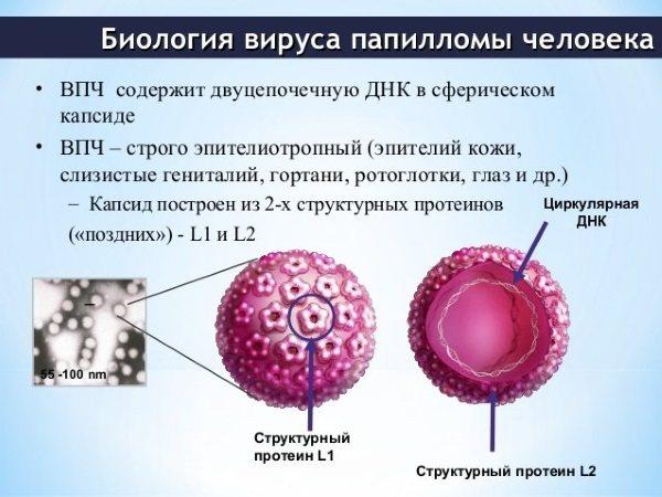 Папилломавирус человека у женщин и мужчин - причины возникновения, симптомы и лечение