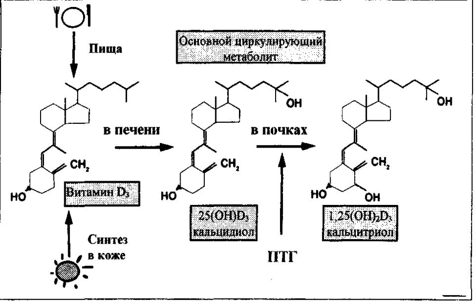 Кальцитриол. синтез, секреция кальцитриола. физиологические эффекты кальцитриола. кальбайндины. рахит.