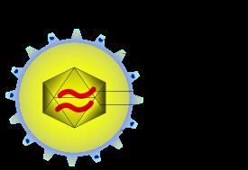 Цитомегаловирус – что это такое и каковы особенности инфекции?