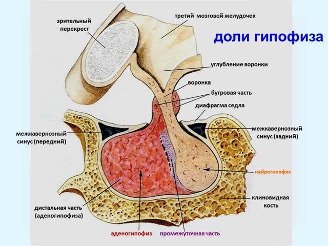Гипофиз: что это такое и за что он отвечает в организме человека, его роль, функции, болезни