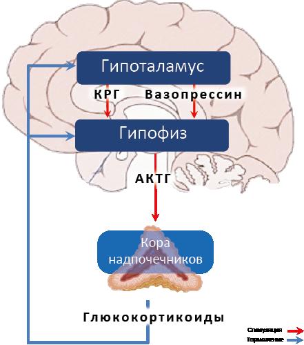Гидрокортизон (hydrocortisonum), общая характеристика
