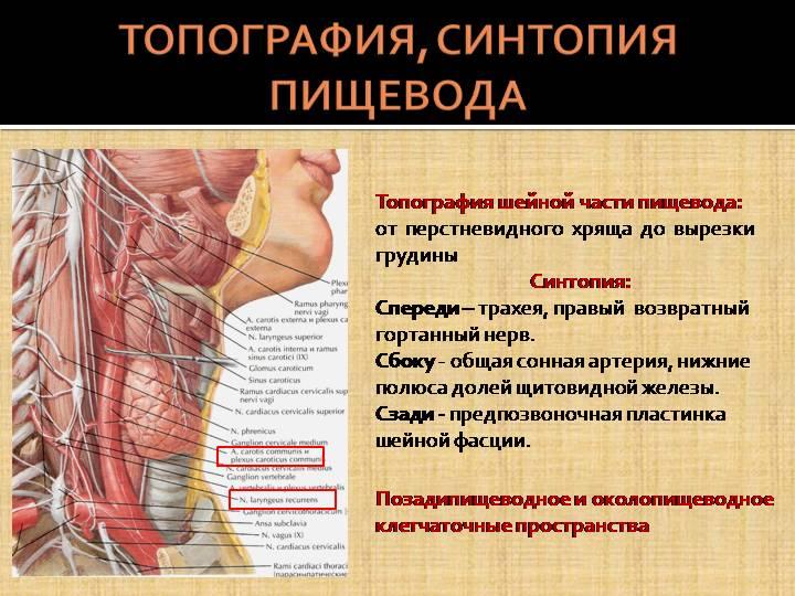 Щитовидная железа: расположение, строение, структура