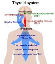 Какие показатели являются нормой гормонов щитовидной железы у женщин?