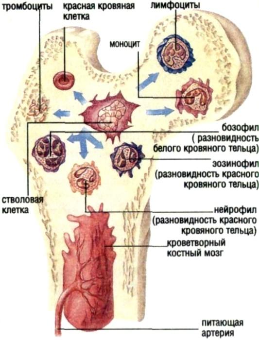 Костный мозг человека википедия
