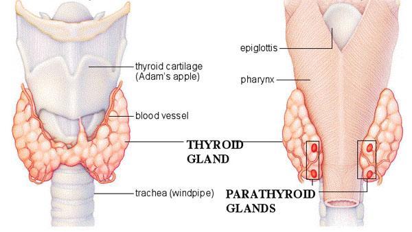 Особенности строения щитовидной железы