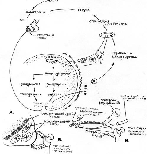 Щитовидная железа. строение, функции.