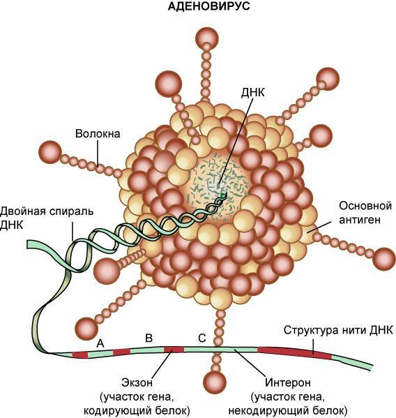 Аденовирусная инфекция у детей: симптомы, лечение и профилактика