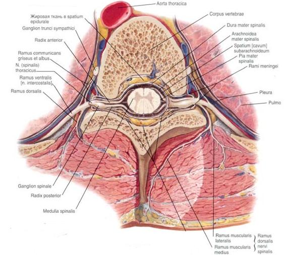 Грыжа шморля (узлы шморля): причины заболевания, основные симптомы, лечение и профилактика
