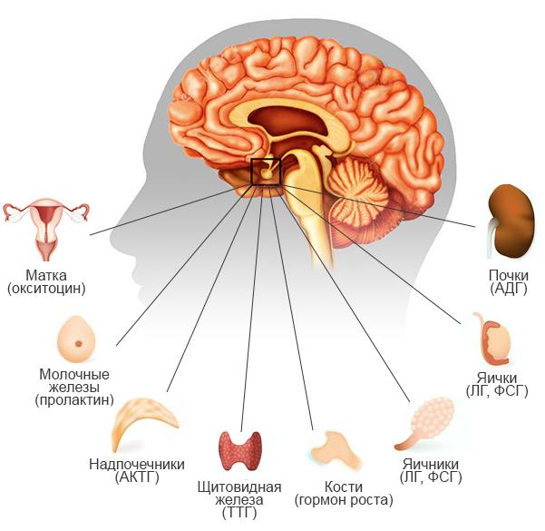 Всё о гормонах гипофиза: значение, нормы и патологии