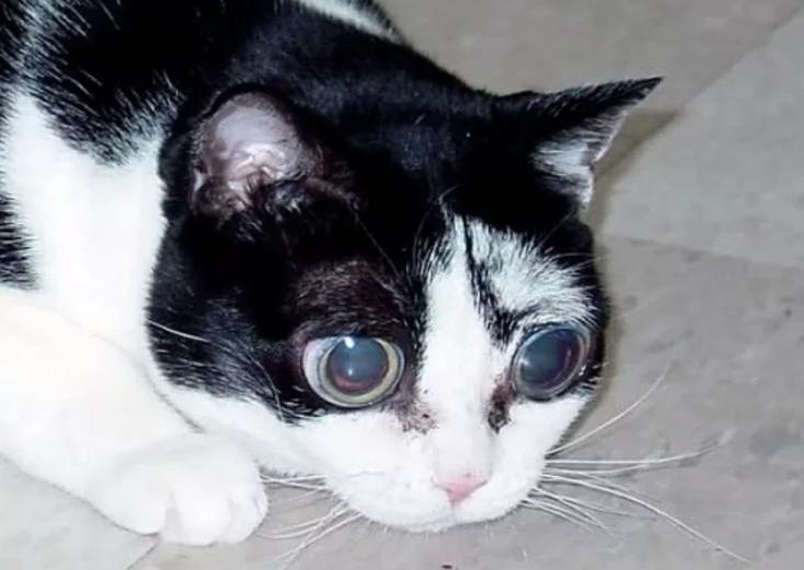 Глаукома у кошек: симптомы, диагностика, методы лечения
